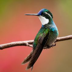 The hummingbirds from the mountains of Savegre were so beautiful and this little one is called the white throated Mountain Gem. It was definitely a place that one could spend hours photographing these little treasures from Costa Rica.