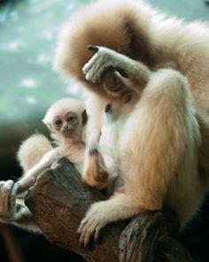 yoda baby (gibbon)