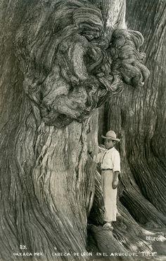 Oaxaca - Arbol del Tule
