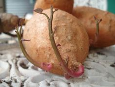 Growing sweet potatoes, I love to just grow the vines. They are very pretty. Just put in a pot with little soil and water.