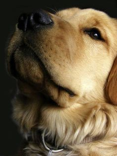 Goldens focus on you like no other dog . . .