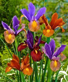 Dutch Iris 'Tiger Mix' - Bulb