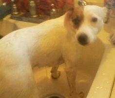#LostDog - female Jack Russell Terrier - #TexasCity #TX #77590 USA #GalvestonPets