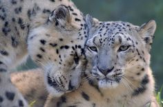 Pair of Snow Leopards overlooking a valley and one Snuggles to the other a beautiful gesture of affection. Photo by Robin Dodd.