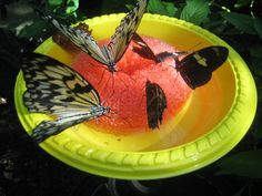 DIY Butterfly Feeder - a bright colored bowl with a plastic mesh pot scrubber in it; just add sugar water (4 parts water, 1 part granulated sugar) and wait for the butterflies to show up.
