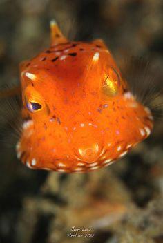 juvenile trunkfish