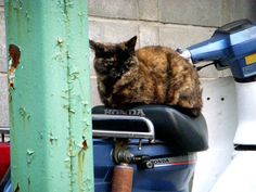 スクーターシートに乗る猫(メス)