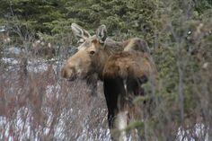 Moose in Denali Park, Alaska