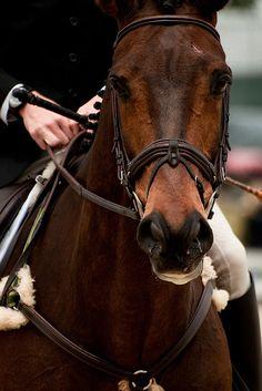 This horse just oozes confidence. Jumbo's Jake ridden by James Alliston. 2011 Rolex Kentucky Three Day Event. #rk3de