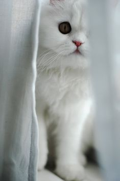 Peek-a-boo white kitty   # Pin++ for Pinterest #