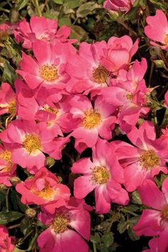 Pink Drift® is low-growing with distinctive mounded flowers that reach 1½' in height with a 3' spread. Deep pink flowers with a soft faded center bloom in abundance throughout the season. This disease-resistant plant is easy to care for and easy to combine with other perennials.