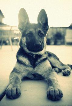 anim, ear, pet, german sheperd, german shepherds, german shepherd puppies, german shepard, friend, big dogs