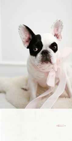 puppies, anim, french bulldogs, pet, doggi, frenchi, frenchbulldog, boston terrier, bulldog cuti