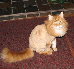 lol they shaved their cat like a lion!