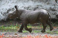 Aria the baby black rhino born at Zoo Miami