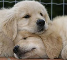 little puppies, golden retrievers, lab puppies, ador, snuggl, golden puppi, dog, table legs, friend
