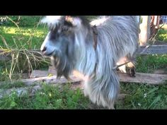The beatboxing goat! Lol funny voice over :)