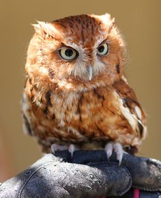 owl.....staring intently.....