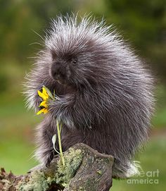 Porcupine With Arrowleaf Balsamroot Photograph  - Porcupine With Arrowleaf Balsamroot Fine Art Print