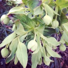 Janet's hellebores in the Ripley Garden look like they are starting to think about blooming in the next few weeks. Bring it on spring!