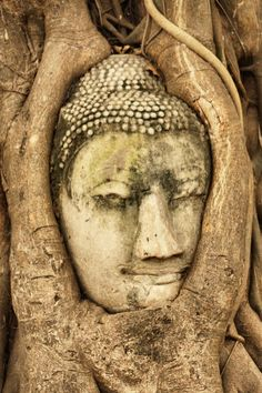 Buddha covered by tree growth in Ayutthaya - Old Capital of Thailand.