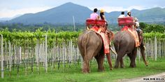 At Hua Hin Hills, visitors can tour the vineyard on an elephant. http://www.huahinhillsvineyard.com/2011/index.php