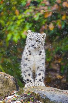 Mohan looking the snow fall by (Tambako the Jaguar)