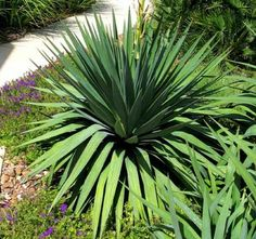Soft Leaf Yucca - (Yucca Pendula) Category: Shrubs Type: Broadleaf Evergreen Exposure: Full Sun / Part Shade Blooms: Spring to Fall Flowers: Pinkish Foliage: Blue / Green Form: Upright Maximum Growth: Approx. 5'h x 4'w Zones: 8 to 10 (See Zone Map) Drought Tolerance: High Scientific Name: Yucca pendula (syn recurvifolia)