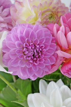 <3 #dahlia drawings, coral, nature, dahlias, colors, purple flowers, flower photos, design, fields