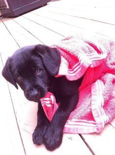 anim, lab pups, lab puppies, black labs, black lab pup