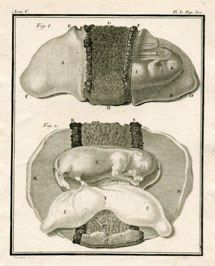 "animal fetus I french 1777 engraving 8 x 10"" $60"