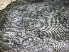 File:Tree.ring.arp.jpg