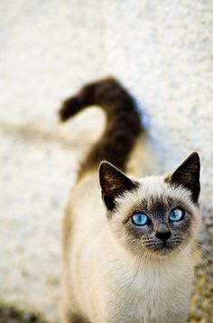 blue eyes, Siamese.