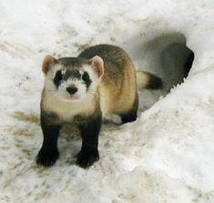 Black foot ferret...................Google Image Result for http://www.endangeredanimals.mfbiz.com/communities/3/004/008/699/223/images/4541417963.jpg