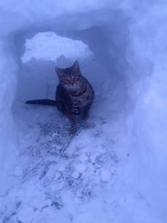 Crystal Darcus, Harrisonburg  Me and my daughter built a igloo today for our cat and he loved playing in it! #WHSVsnow crystal darcus, cat, daughter built