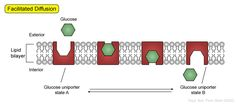 Facilitated diffusion of glucose by the glucose uniporter.  The transport of glucose across the plasma membrane can be in either direction, but is mostly into the cell. The glucose uniporter has two states: open to the exterior of the cell (A) and open to the interior of the cell (B). In either state, the glucose uniporter will bind glucose and undergo a conformational change, delivering glucose to the opposite side. The direction of glucose transport is driven by the concentration gradient.