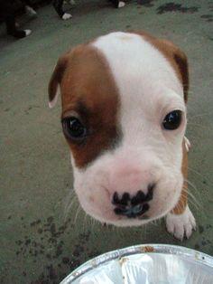 baby pit bull!!!! ^^
