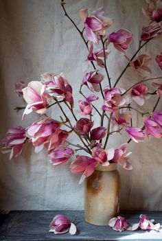 japanese magnolias | beauty everyday japanes magnolia, color, backgrounds, art, japanese beauty, front yards, beauti, arrang, flower