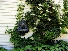 Tips On How To Grow a Climbing Hydrangea garden grow, plants, garden 101, flower power, hydrangea plant, climb hydrangea, hydrangeas