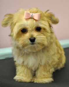 Teacup #morkie #dogs #cute