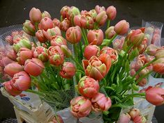 French Tulips