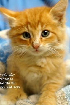 ***EXTREMELY URGENT*** THUMBS is in extremely urgent need of a foster/adopter/rescue ASAP! 6 week old, vaccinated, polydactyl lovely boy. Please consider saving this beautiful baby by adding him to your family! PLEASE share/pledge/foster/adopt/rescue, whatever you can do! Thank you!