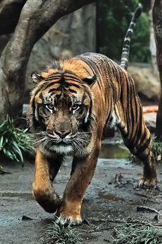 ☀Khunde ♂ - The King of the Jungle by Harimau Kayu (AKA Sumatra-Tiger)*