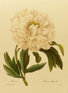 Vintage White Washed Peony, Redoute Flower Print (Easy to Frame) Botanical Book Plate No. 102
