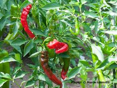 How to Use Matches to Grow Better Peppers