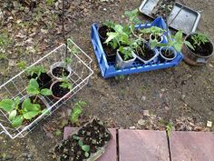Some of the 2012 season's future vegetables taking a break outside our greenhouse in Two Rivers, Alaska.
