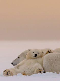 Polar bears Chillin'