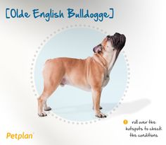 The Olde English Bulldogge is a muscular, medium-sized dog of great strength, stability and athleticism. Because of his strength, as well as his protective nature over his family and home, a solid foundation in obedience training is a good idea. But while he may look like a tough guy, the Olde English Bulldogge is friendly, loving and eager to please. He loves to chew, so be sure to keep plenty of safe, durable toys around to discourage furniture or shoe destruction!