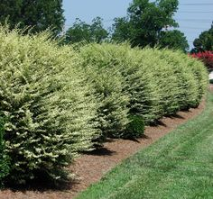 Fast-Growing Shrub for Privacy Screens