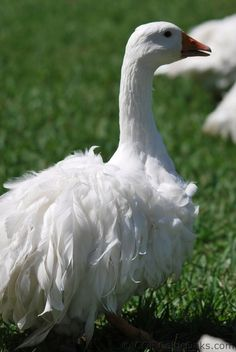 Sebastopol Goose - The curly feathered geese.